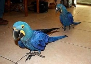 Macaw Birds for sale in Springfield Township, NJ 07081, USA. price 950USD