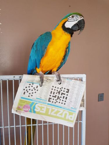 Macaw Birds for sale in Park County, CO, USA. price -USD