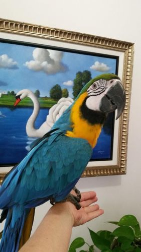 Macaw Birds for sale in Chicago, IL 60664, USA. price -USD