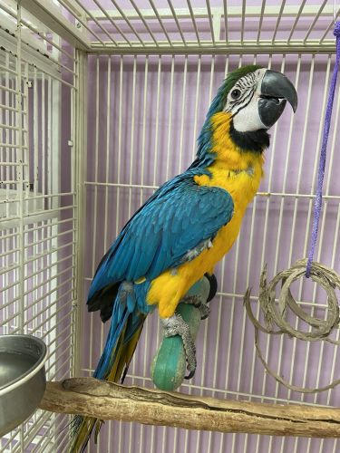 Macaw Birds for sale in Merced County, CA, USA. price 2500USD