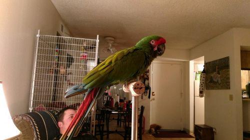 Macaw Birds for sale in Tucson, AZ, USA. price 2000USD