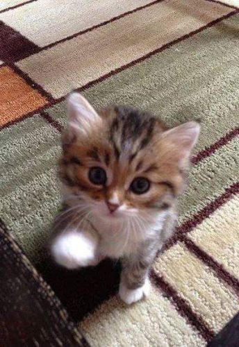 Maine Coon Cats for sale in Iowa City, IA, USA. price 420USD