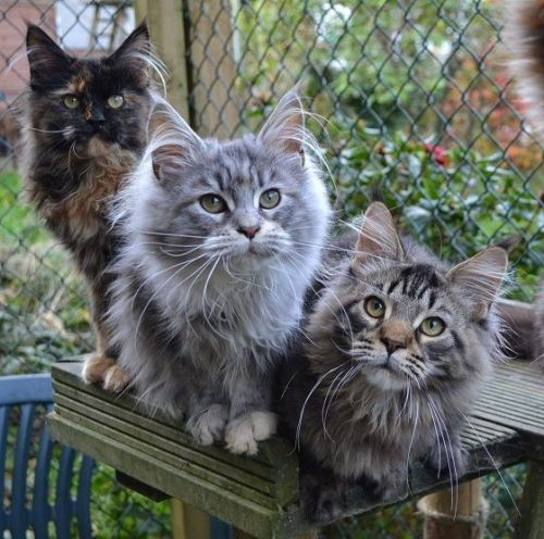 Maine Coon Cats for sale in Dallas, TX, USA. price 500USD