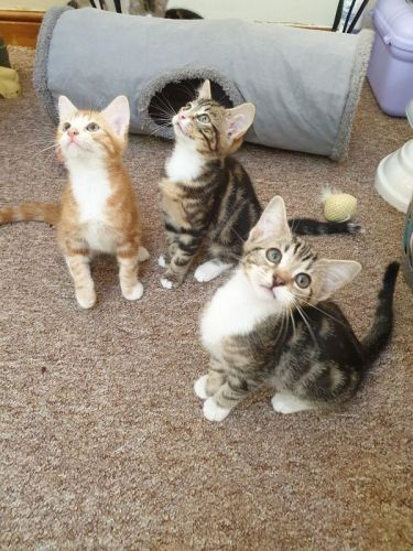 Maine Coon Cats for sale in Houston, TX 77005, USA. price 550USD