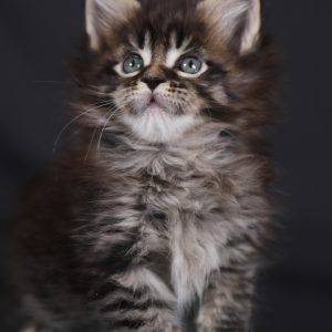 Maine Coon Cats for sale in Miami, FL, USA. price 1900USD