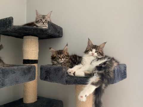 Maine Coon Cats for sale in Houston, TX, USA. price 500USD