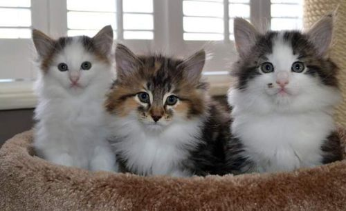 Maine Coon Cats for sale in Milwaukee, WI, USA. price 600USD