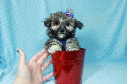 Mal-Shi Puppies for sale in Los Angeles, CA, USA. price 500USD