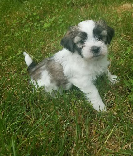 Mal-Shi Puppies for sale in Newton, IA 50208, USA. price -USD
