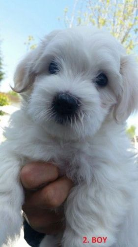 Mal-Shi Puppies for sale in Indianapolis, IN, USA. price -USD