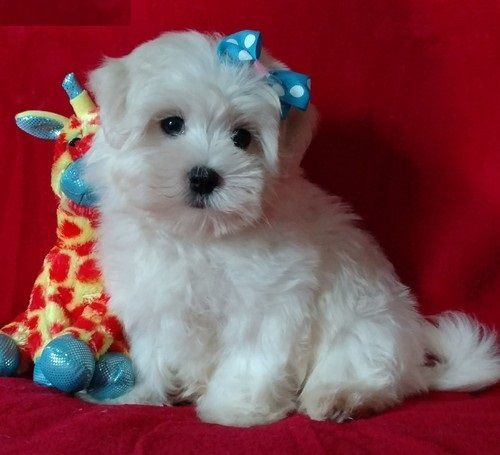 Mal-Shi Puppies for sale in Detroit, MI, USA. price -USD