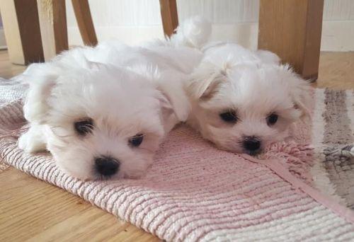 Maltese Puppies for sale in Bozeman, MT, USA. price 700USD