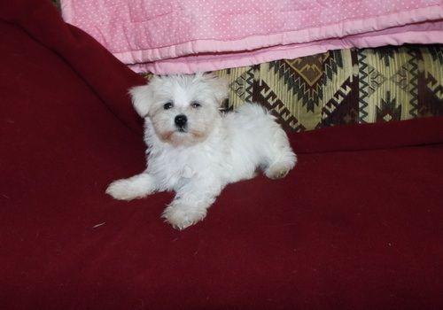 Maltese Puppies Sale Austin Tx 5315 Hooblyus