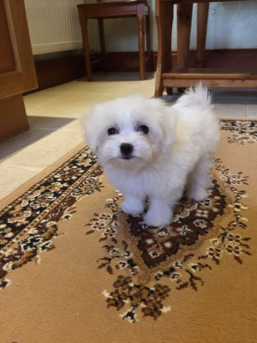 Maltese Puppies for sale in Omaha, NE, USA. price -USD