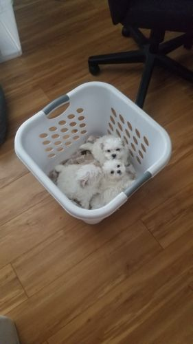 Maltese Puppies for sale in Tampa, FL, USA. price 850USD