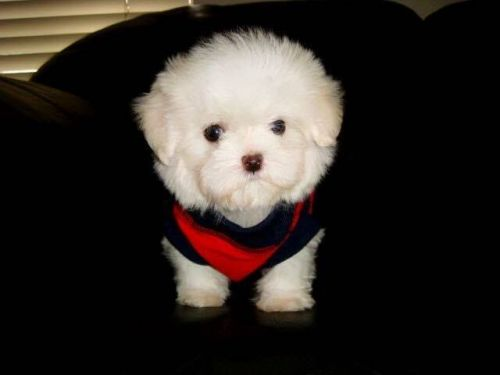 Maltese Puppies for sale in Charlotte, NC, USA. price 750USD