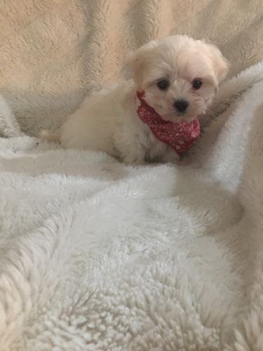 Maltese Puppies for sale in Jackson, MI, USA. price 850USD