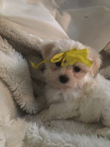 Maltese Puppies for sale in Jackson, MI, USA. price -USD