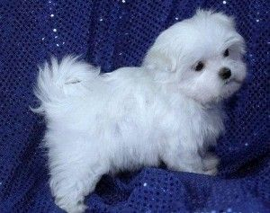 Maltese Puppies for sale in Vicksburg, MS, USA. price 600USD