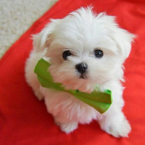 Maltese Puppies for sale in New York, NY, USA. price 500USD