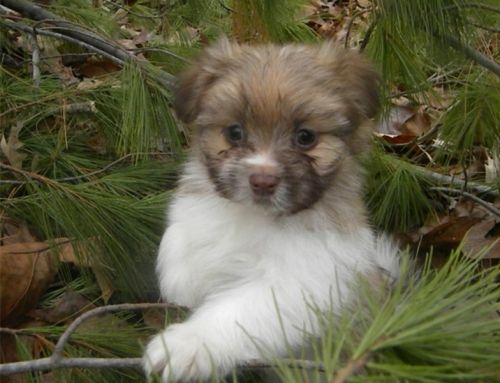 Malti-Pom Puppies for sale in Stuyvesant St, New York, NY 10003, USA. price 380USD