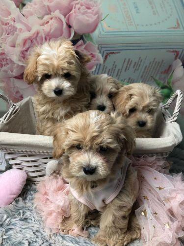 Maltipoo Puppies for sale in Boston, MA, USA. price 300USD
