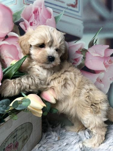 Maltipoo Puppies for sale in Las Vegas, NV, USA. price 400USD