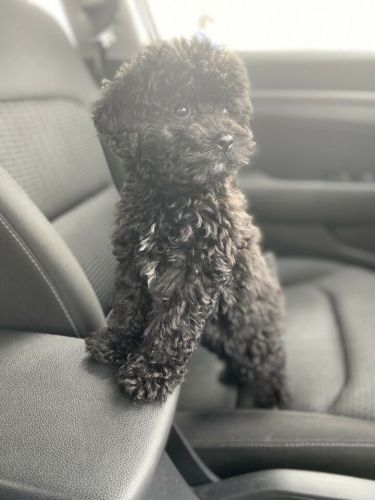 Maltipoo Puppies for sale in Los Angeles, CA, USA. price 600USD