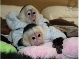 Mangabey Monkey Animals for sale in New York, NY, USA. price -USD