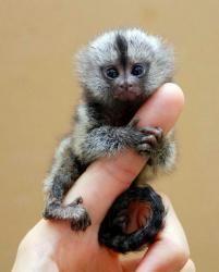 Mangabey Monkey Animals for sale in Houston, TX, USA. price -USD