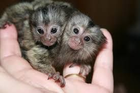 Mangabey Monkey Animals for sale in TX-249, Houston, TX, USA. price 1200USD