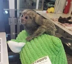 Mangabey Monkey Animals for sale in Lexington, KY, USA. price 340USD