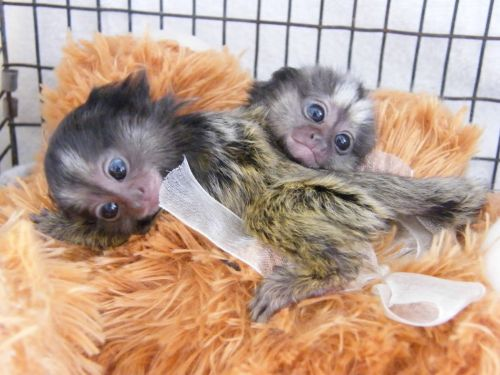 Mangabey Monkey Animals for sale in Pittsburgh, PA 15242, USA. price 300USD