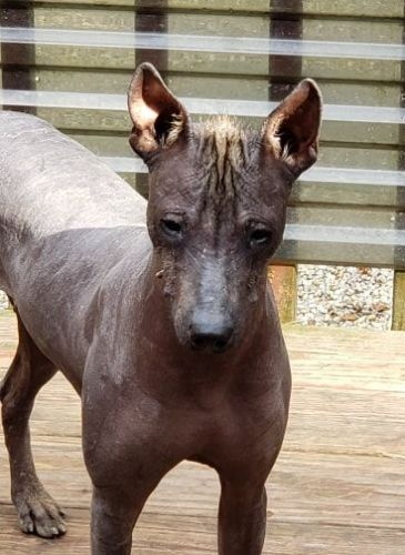 Mexican Hairless Puppies for sale in Winchendon, MA, USA. price 1500USD