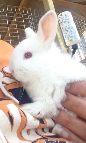 Mini Lop Rabbits for sale in 8500 TN-100, Jacks Creek, TN 38347, USA. price 10USD