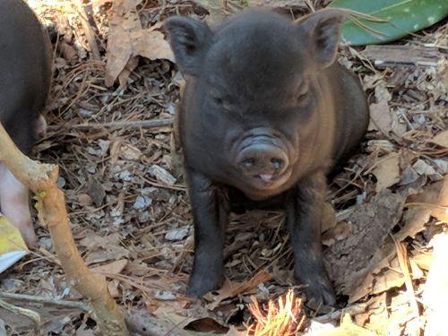 Mini/Micro Pig Animals for sale in Ruckersville, VA 22968, USA. price -USD