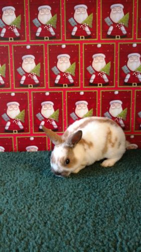 Mini Rex Rabbits for sale in St Clairsville, OH 43950, USA. price 30USD