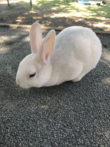 Mini Rex Rabbits for sale in Tifton, GA, USA. price 50USD
