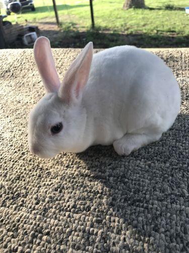 Mini Rex Rabbits for sale in Tifton, GA, USA. price 30USD