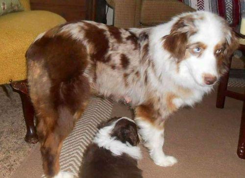 Miniature Australian Shepherd Puppies for sale in Russellville, KY 42276, USA. price -USD