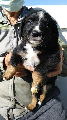 Miniature Australian Shepherd Puppies for sale in Alliance, OH 44601, USA. price 200USD