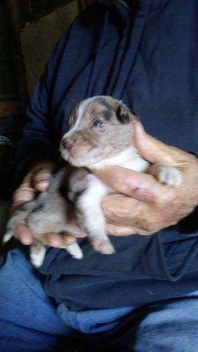 Miniature Australian Shepherd Puppies for sale in Alliance, OH 44601, USA. price -USD