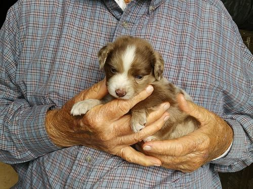 Miniature Australian Shepherd Puppies for sale in Alliance, OH 44601, USA. price 500USD