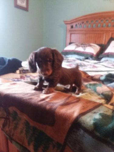 Miniature Dachshund Puppies for sale in Fort Defiance, VA, USA. price 650USD