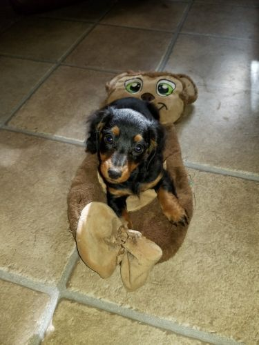 Miniature Dachshund Puppies for sale in Frazee, MN 56544, USA. price 750USD