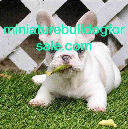 Miniature English Bulldog Puppies for sale in Seattle, WA, USA. price 800USD