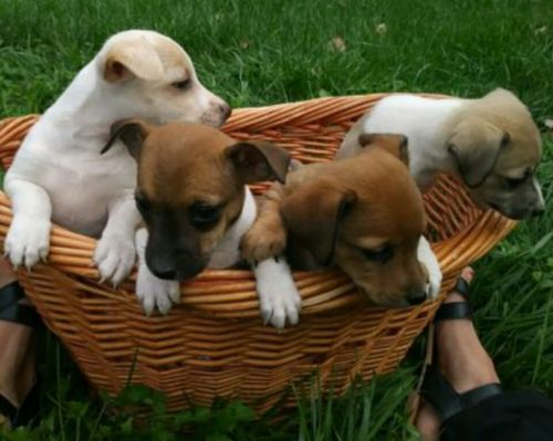 Miniature Fox Terrier Puppies for sale in Clio, MI 48420, USA. price 250USD
