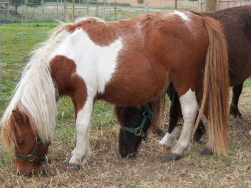 Miniature Horse Horses for sale in Jennings, LA 70546, USA. price -USD