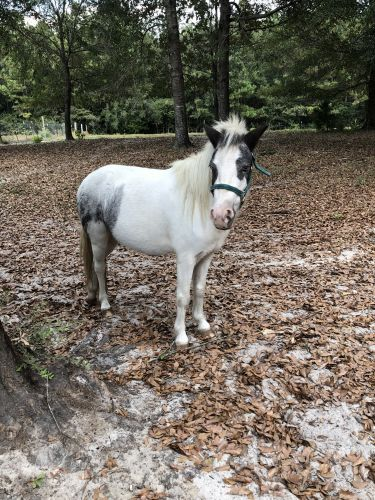 Miniature Horse Horses for sale in Excel, AL, USA. price 400USD
