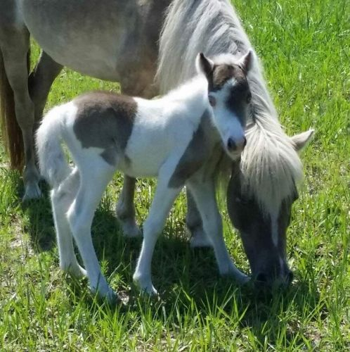 Miniature Horse Horses for sale in Ormond Beach, FL, USA. price 850USD